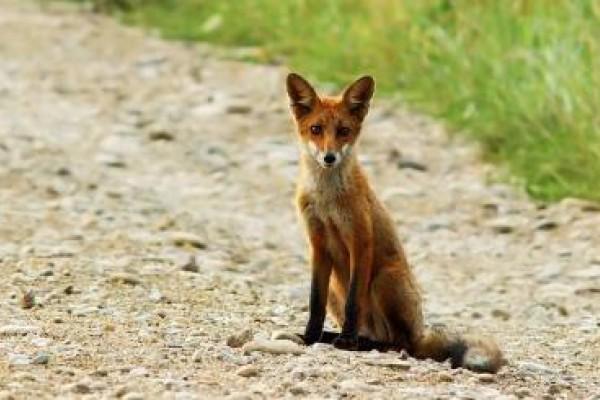 No a los campeonatos de caza de zorros en Galicia