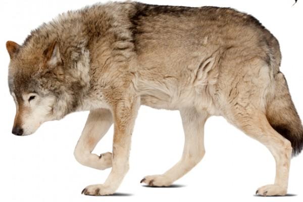 El último refugio del lobo ibérico