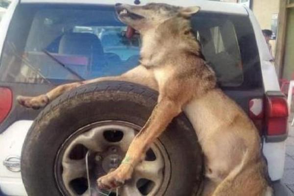 Así tratan a los lobos los guardas de medio natural de Asturias