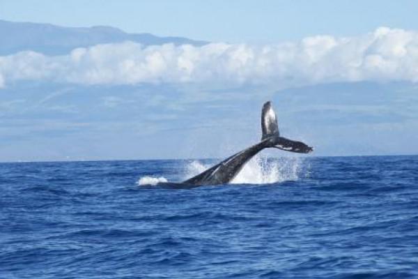 Japón volverá a cazar ballenas